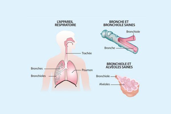 appareil_respiratoire_et_bronchiole